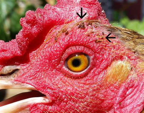 ticks in backyard backyard chickens harbor greater diversity of ticks mites and lice than farm raised