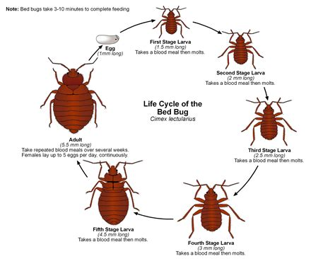 bed bug vs tick deer tick vs wood tick size
