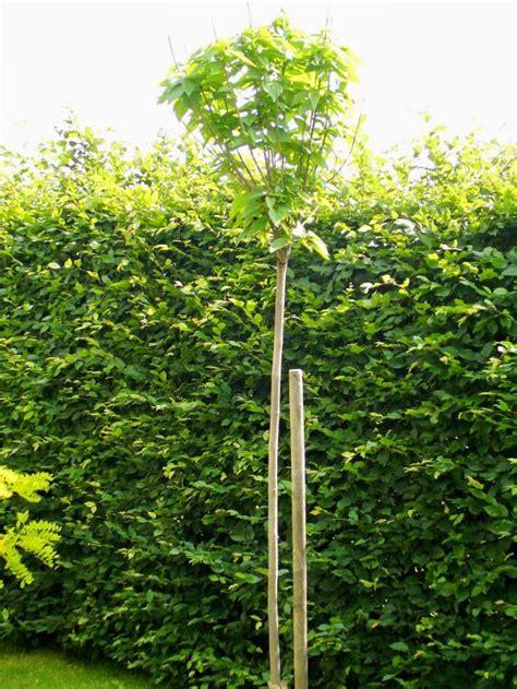 kugel trompetenbaum kaufen kugel trompetenbaum nana catalpa bignonioides nana