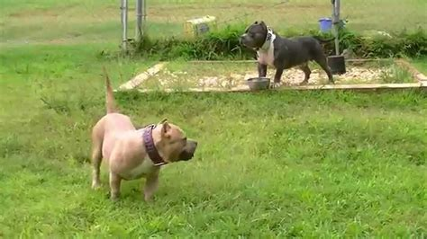 chocolate tri color pitbull puppies for sale chocolate tri color pitbull puppies sale image search results breeds picture