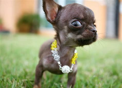 smallest puppy the world s smallest dogs 2012