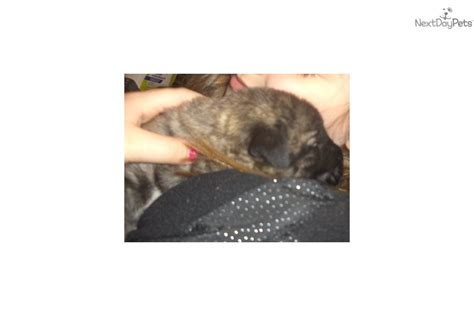 wolfhound puppies for sale near me wolfhound puppy for sale near springfield missouri d82314f1 5ac1