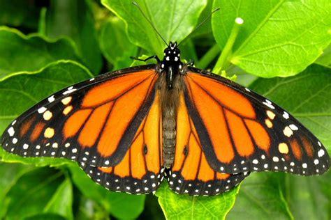 monarch butterfly monarch butterfly