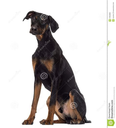 6 month puppy doberman pinscher puppy sitting 6 months stock photos image 37852883