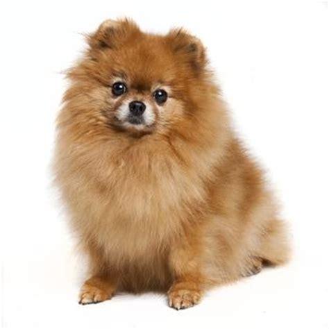 pomeranian puppy clothes pomeranian baxterboo