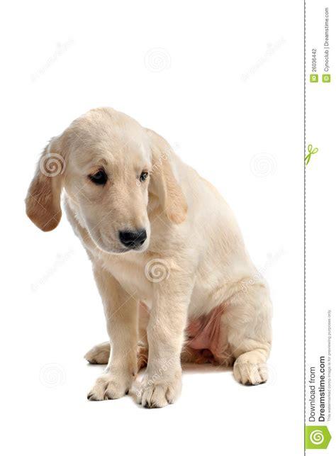 sad golden retriever puppy sad puppy golden retriever stock photography image 26036442