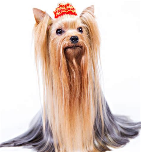 how to make yorkie hair silky top 10 haired breeds