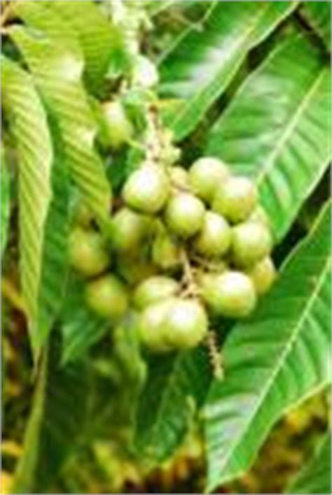 Bibit Buah Matoa kebunbogor menjual bibit pohon matoa pometia pinnata dengan quot harga teman quot