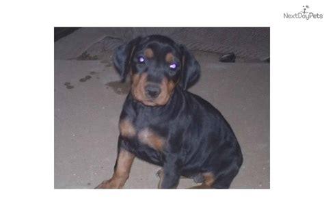 german pinscher puppies for sale german pinscher puppy for sale near los angeles california 982b52c7 fdf1
