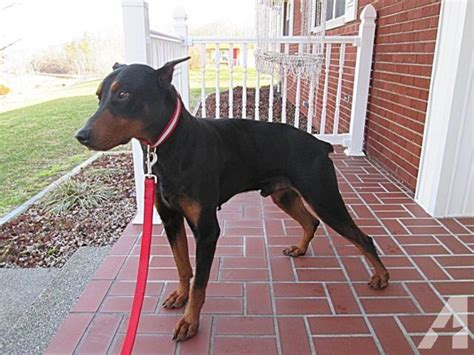 doberman puppies for sale in ky doberman pinscher puppies on i 75 for sale in kentucky classified