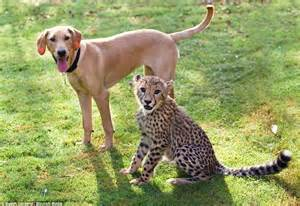 baby cheetah cub to become part of busch gardens cheetah still wild about each other the cheetah and labrador