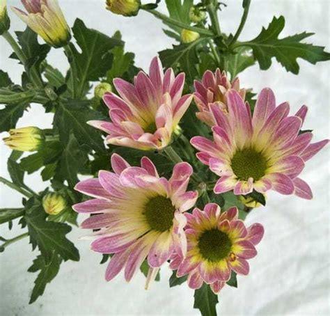 jual tanaman krisan aster melody pink bibit