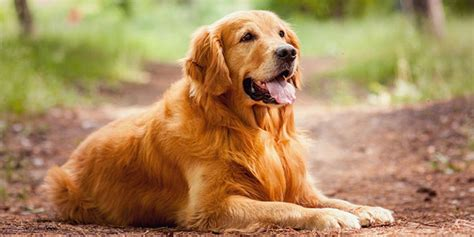 do golden retrievers get along with other dogs golden retriever breeds org
