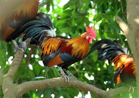 Bargain Home Decor Red Junglefowl Rare Breed For Sale Cackle Hatchery