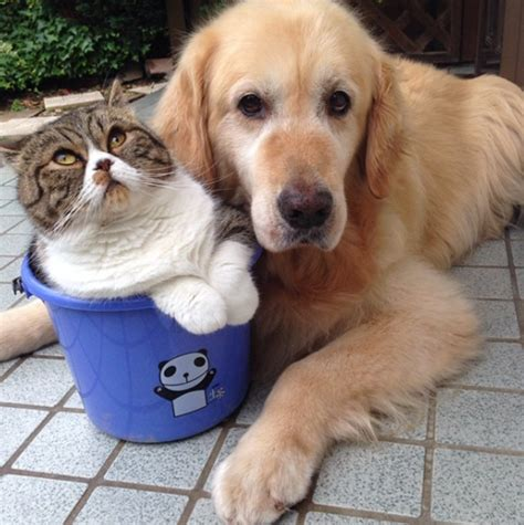 golden retriever asthma this golden retriever and cat duo take the most adorable photos together