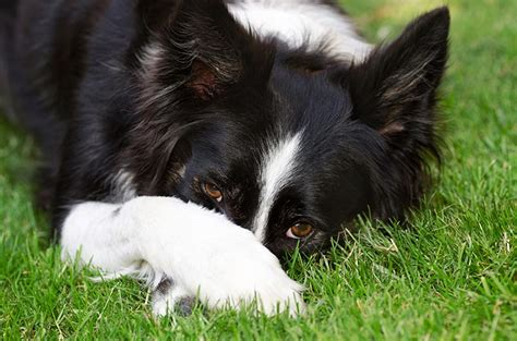 are apples bad for dogs probiotics for s bad breath