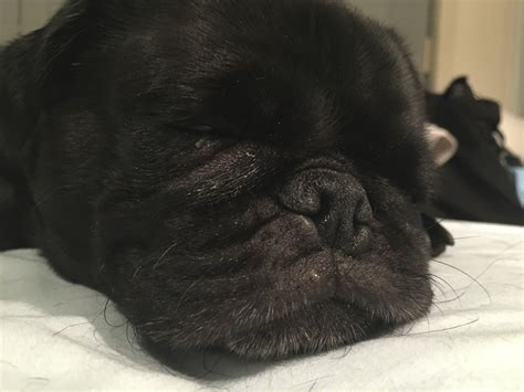 pug wipes the importance of cleaning your pug s wrinkles the pug diary