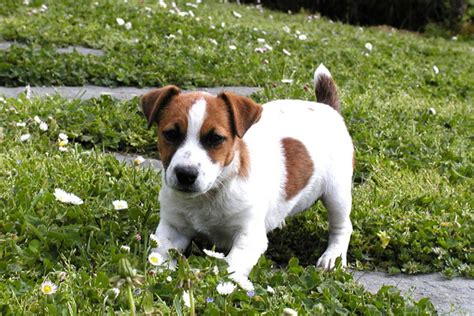 parson terrier puppies parson terrier puppies for sale from reputable breeders