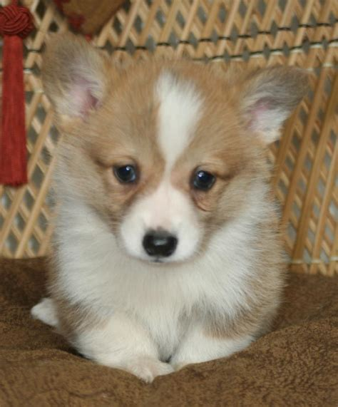 white corgi puppies for sale noble hearts pembroke corgi breeder puppies for sale