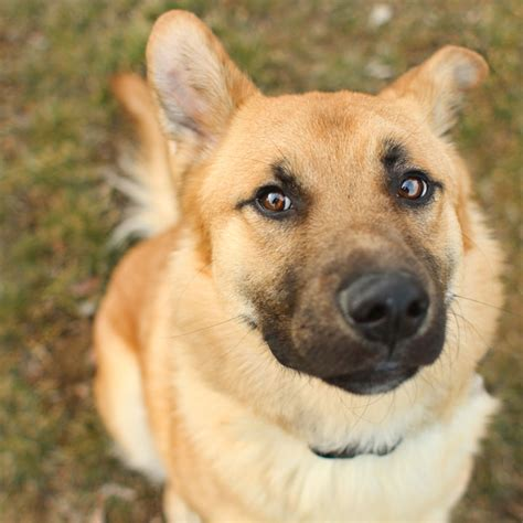 german shepherd mix golden retriever golden retriever german shepherd mix