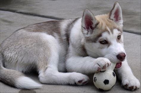 siberian huskies puppies siberian husky puppy hd wallpaper animals wallpapers