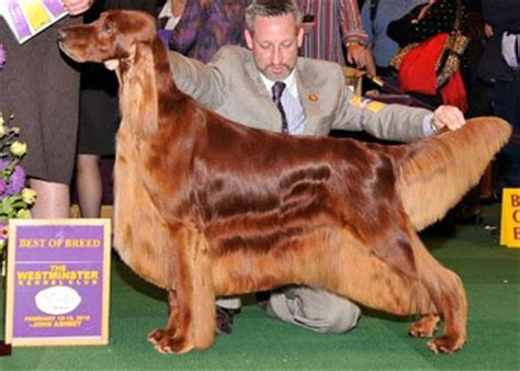 irish setter dog show dog show poop westminster setters irish english gordon