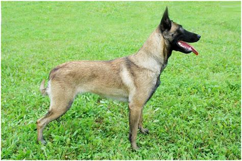belgian malinois puppy price belgian malinois facts pictures puppies temperament breeders price information