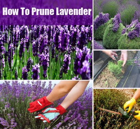 how to prune lavender diycozyworld home improvement
