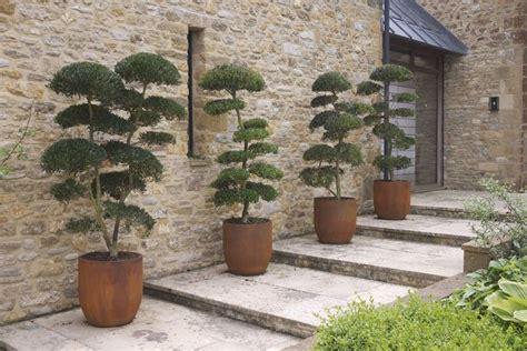 japanese topiary trees jake hobson cloud pruning organic topiary phillyrea