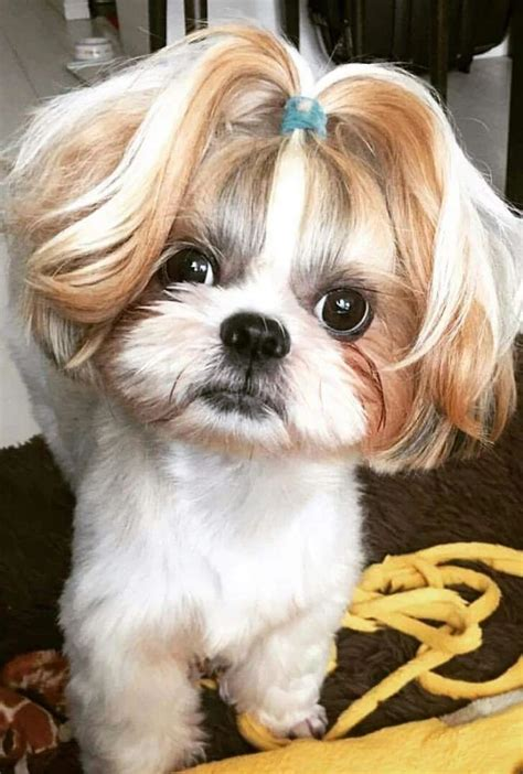 shih tzu ponytail 25 best ideas about baby shih tzu on baby dogs cavapoo dogs and