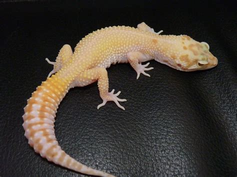 Leopard Gecko 2 shedding and loss in leopard geckos pethelpful