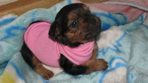 yorkie breeders in san diego yorkie shih tzu shorkie san diego dogs for sale puppies cats breeds picture