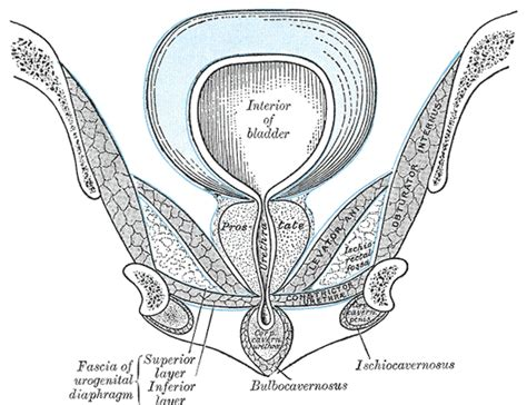 Pelvic Floor Myalgia by A Pilot Randomized Trial Of Levator Injections Versus