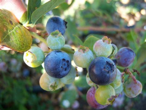perennial fruit trees perennial berries vines and fruit trees for your garden