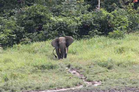 an forest elephant returns from the in gabon poachers killed 25 000 elephants in gabon park the dodo