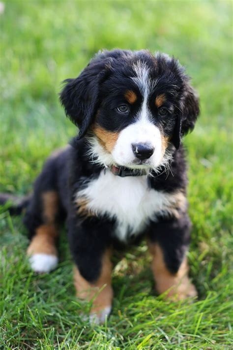 mountain puppies 1000 images about loyal bernese mountain dogs on bernese mountain dogs
