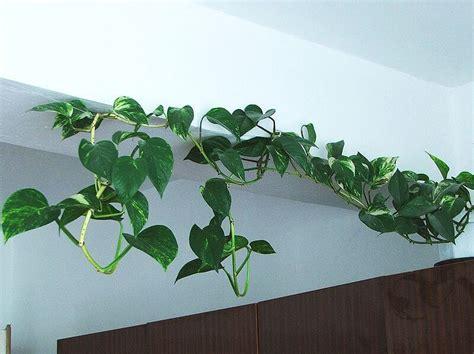indoor vine epipremnum aureus golden pothos scindapsus devils ivy