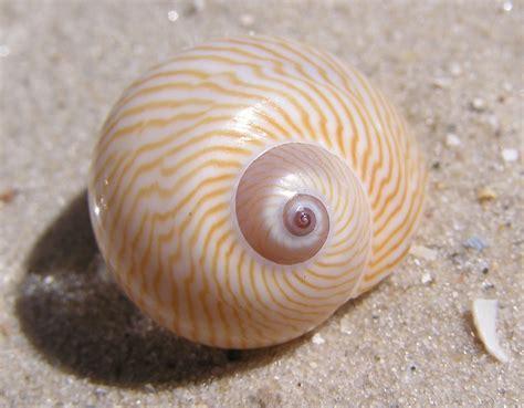 Kerang Siput mollusca halilintar