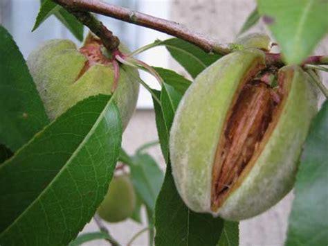 almond fruit tree almond trees buy nut trees from carrob growers
