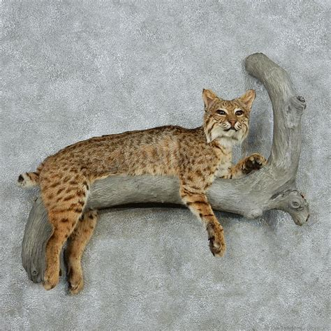 bobcat mount scenes related keywords suggestions