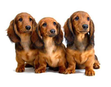 teacup wiener teacup dachshund small breed dogs