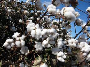 Plantation Style Home cotton plant flickr photo sharing