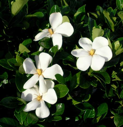 gardenia grandiflora star mm pot dawsons garden world