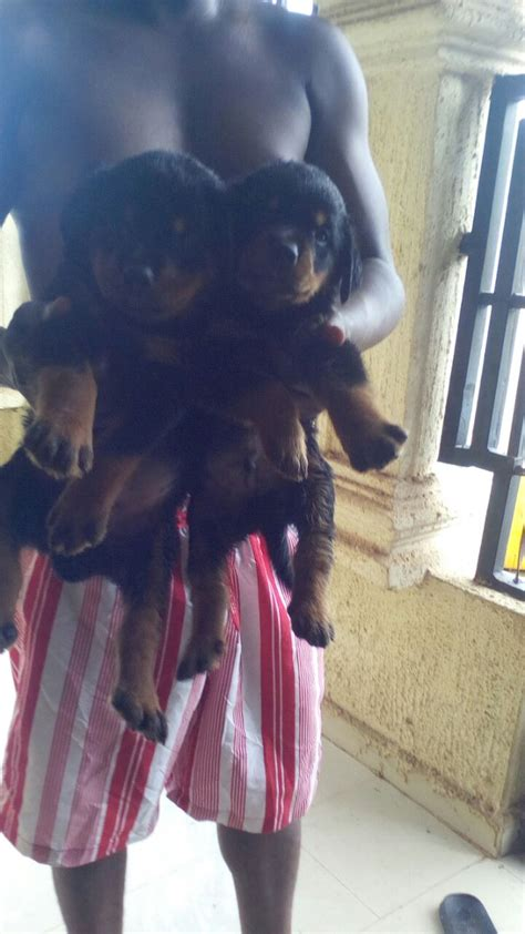 when can puppies be given away rottweiler puppies at give away price pets nigeria