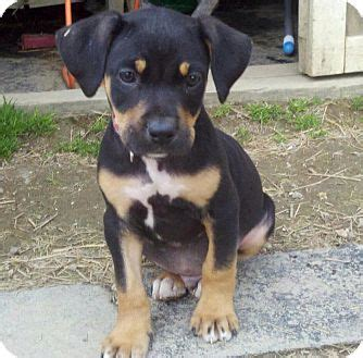rottweiler bloodhound mix alex adopted puppy wappingers ny rottweiler hound unknown type mix