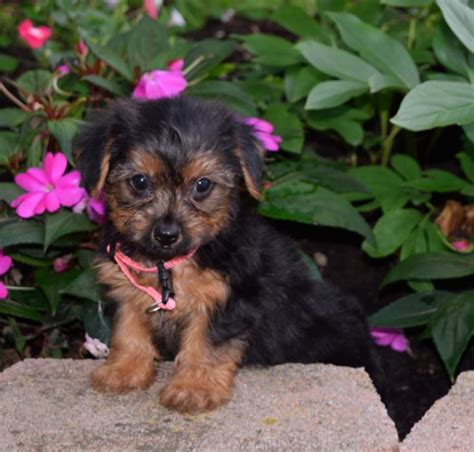 yorkie puppies for sale mn craigslist sweet playful yorkie pups craigspets
