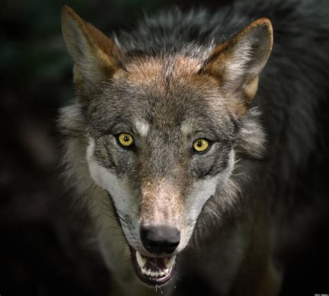 wolf breeds list lawmakers push to take gray wolf endangered species list huffpost