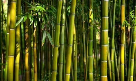 Imagenes Bambu Japones | as 7 li 231 245 es que podemos aprender com o bambu japon 234 s