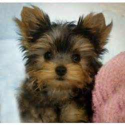 standard size yorkie puppies for sale teacup yorkie puppies for sale in ky breeds picture