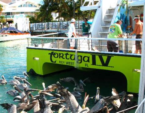 tortuga fishing boat key west brown pelicans waiting for scraps from the fish cleaning